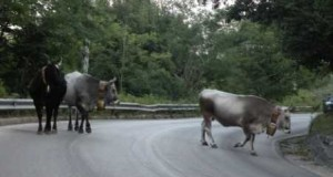 primopiano_mucche-sulla-strada-470x341